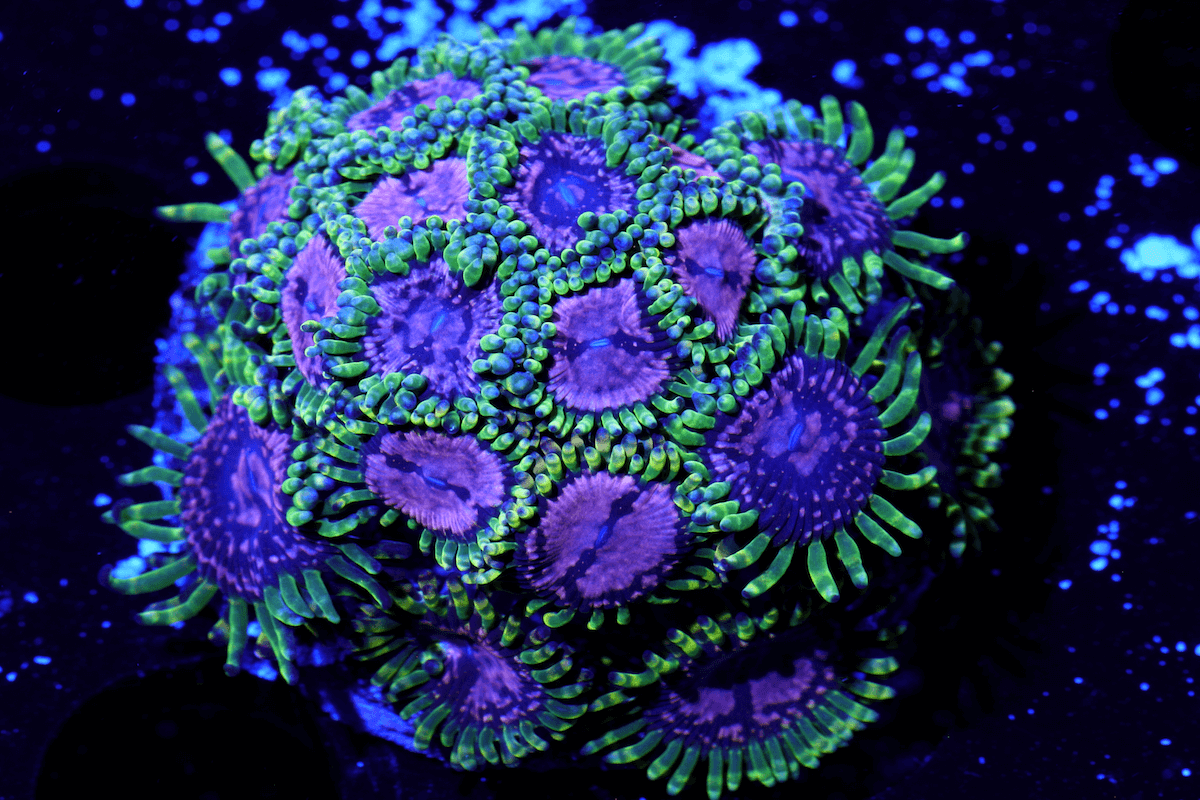 Beautiful Eyes Chalice colony